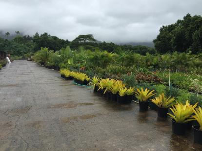 Nursery of plants in Hawaii